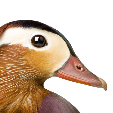 macrophotography: Mandarin duck in front of a white background Stock Photo