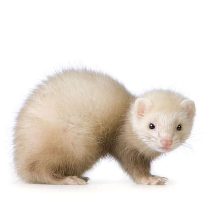 weeks: blue male Ferret kit (10 weeks) in front of a white background