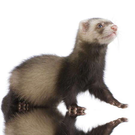 weeks: Ferret kit (10 weeks) in front of a white background
