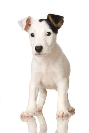 puppy Jack russel in front of a white background Stock Photo