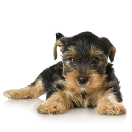 yorkshire terrier: Yorkshire Terrier in front of a white background