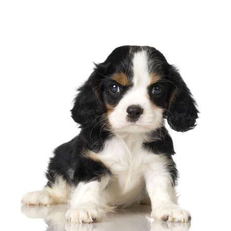 Cavalier King Charles Spaniel puppy sitting in front of a white background