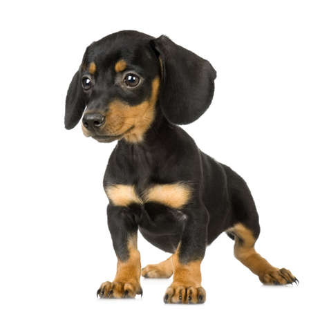 pinscher: young Pinscher standing in front of white background Stock Photo