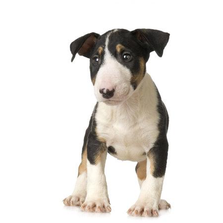 perro asustado: Bull Terrier delante de un fondo blanco