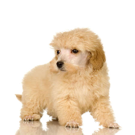 Poodle in front of white background photo
