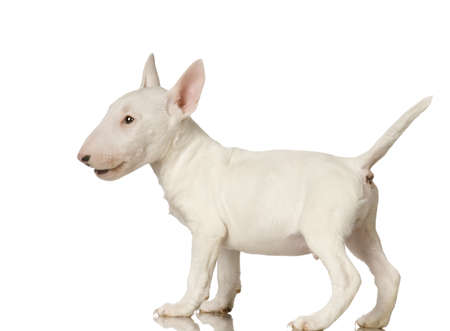gardian: Bull Terrier in front of a white background