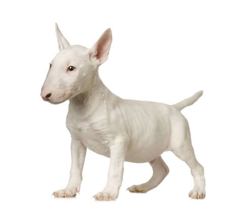 whelp: Bull Terrier in front of a white background