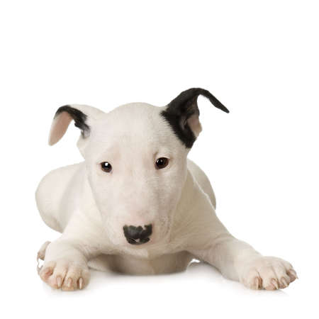 bajo y fornido: Bull Terrier delante de un fondo blanco