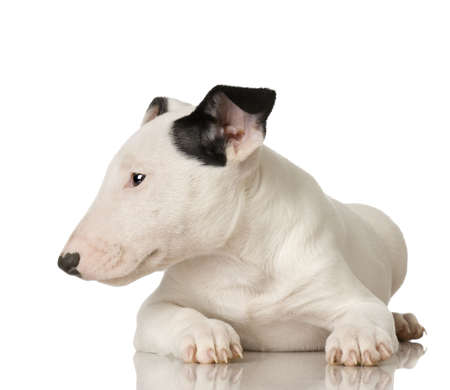 stocky: Bull Terrier in front of a white background