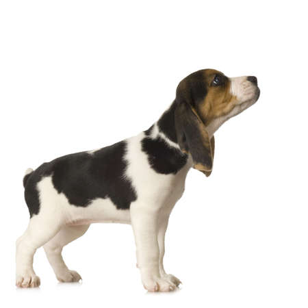 sniff: Beagle in front of white background