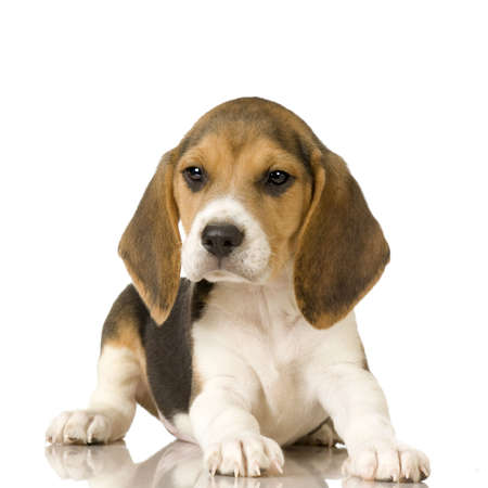beagle puppy: Beagle in front of white background
