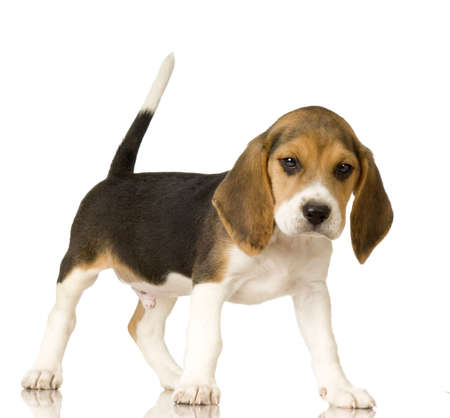 beagle terrier: Beagle in front of white background