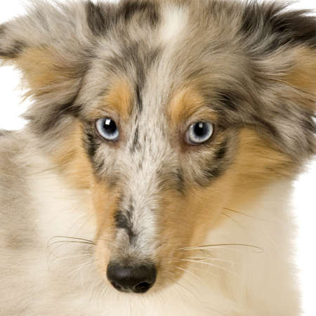 Border Collie in front of a white background Stock Photo - 1283551