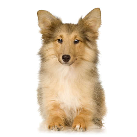 herding: Border Collie in front of a white background
