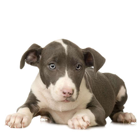 gardian: American Staffordshire terrier Puppy lying down in front of a white background