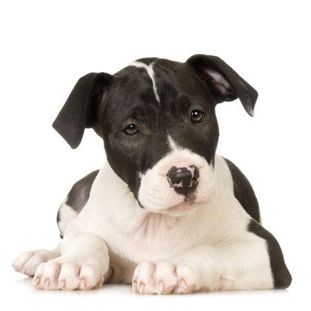 foso: Sentada mas terrier americana de Staffordshire delante de un fondo blanco Foto de archivo