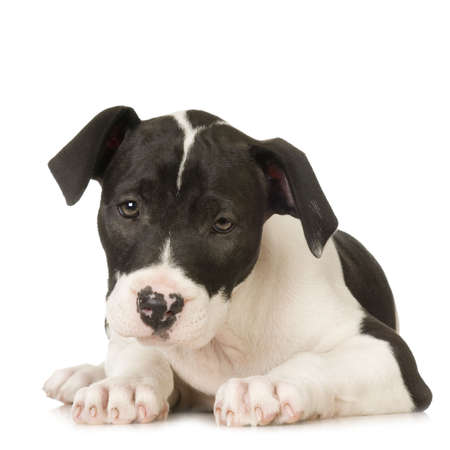 black and white pit bull: American Staffordshire terrier sitting in front of a white background
