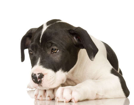 american staffordshire terrier: American Staffordshire terrier sitting in front of a white background
