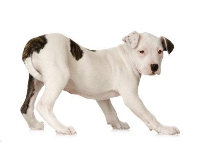 perro asustado: American Staffordshire terrier sentado delante de un fondo blanco  Foto de archivo