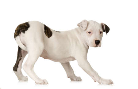 pit bull: American Staffordshire terrier sitting in front of a white background