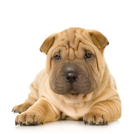 pups: Sharpei in front of a white background Stock Photo