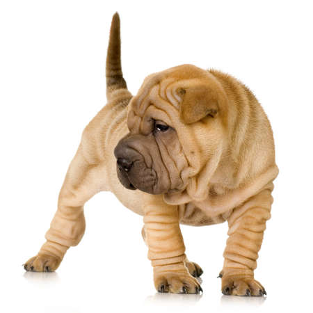 molosse: Sharpei puppy in front of a white background