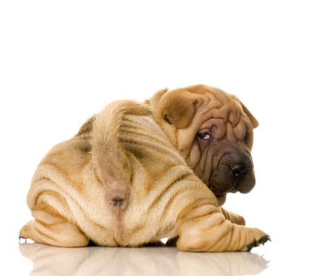 Sharpei in front of a white background Stock Photo