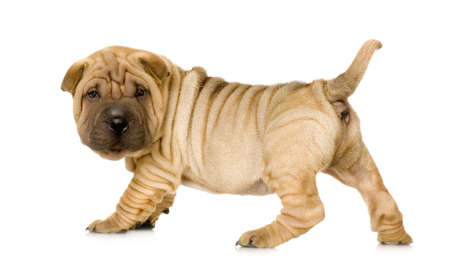 wrinkly: Sharpei in front of a white background Stock Photo
