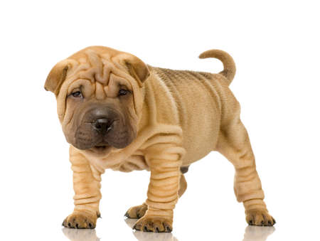 molosse: Sharpei in front of a white background Stock Photo