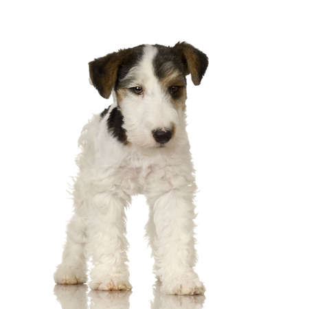 discovering: Fox terrier in front of white background