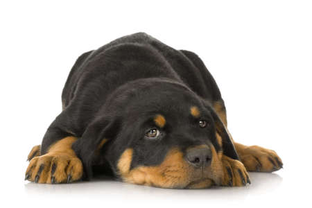 bajo y fornido: Rottweiler delante de un fondo blanco  Foto de archivo