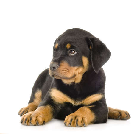 gardian: Rottweiler in front of a white background