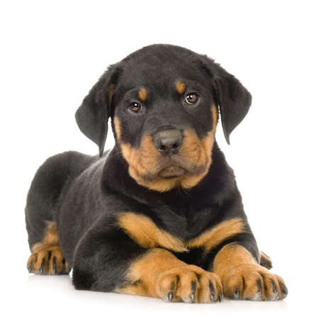 stocky: Rottweiler in front of a white background