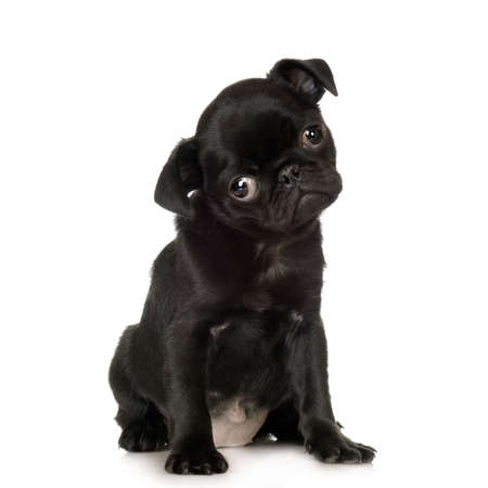 Pug stitting in front of white backgroundr Stock Photo