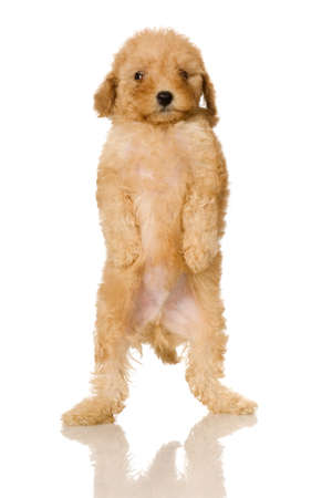 Apricot Poodle puppy in front of a white background Stock Photo - 1283607