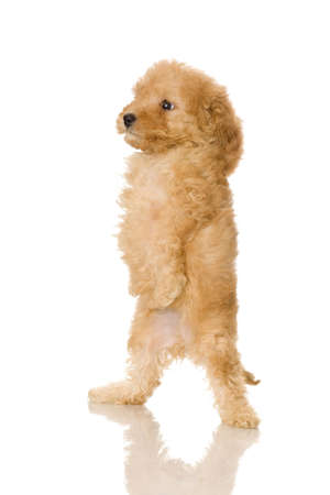 Apricot Poodle puppy in front of a white background