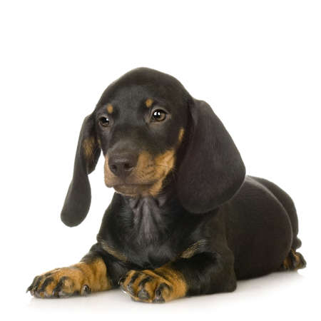 whelp: Dachshund in front of white background