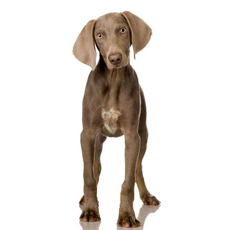 pet grooming: puppy Weimaraner standing up in front of white background Stock Photo