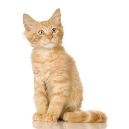 envious: Ginger Cat kitten in front of a white background