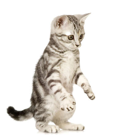 British Shorthair in front of a white background Stock Photo - 1288660