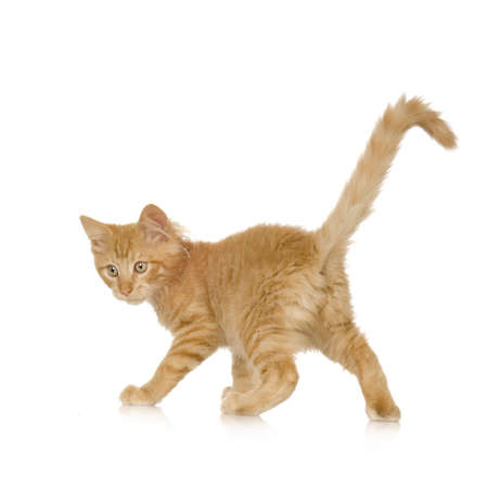 snooping: Ginger Cat kitten in front of a white background