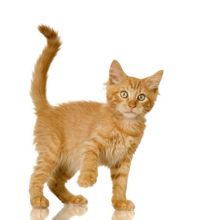 long tail: Ginger Cat kitten in front of a white background