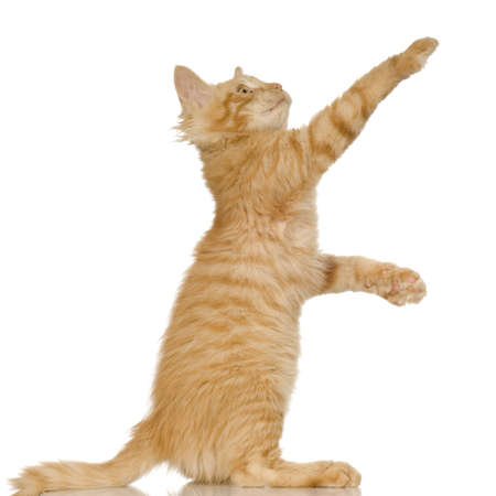 cats playing: Ginger Cat kitten in front of a white background