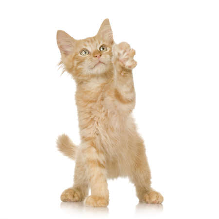 prying: Ginger Cat kitten in front of a white background