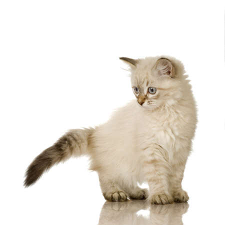 Blu-tabby-point Birman kitten in front of a white background photo