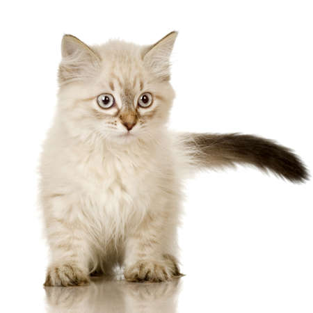 blue grey coat: Blu-tabby-point Birman kitten in front of a white background