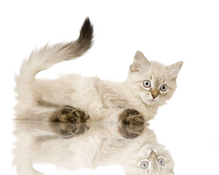 birman kitten: Blu-tabby-point Birman kitten in front of a white background
