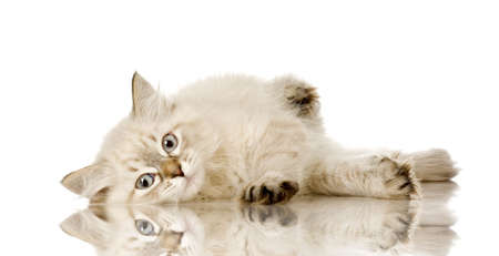 envious: Blu-tabby-point Birman kitten in front of a white background