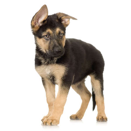 german shepherd puppy standing in front of a white background Stock Photo - 1288686