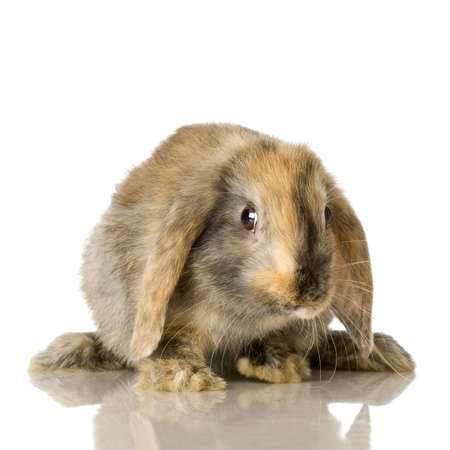 lop lop rabbit white: close-up on a Lop Rabbit in front of a white background and looking at the camera Stock Photo